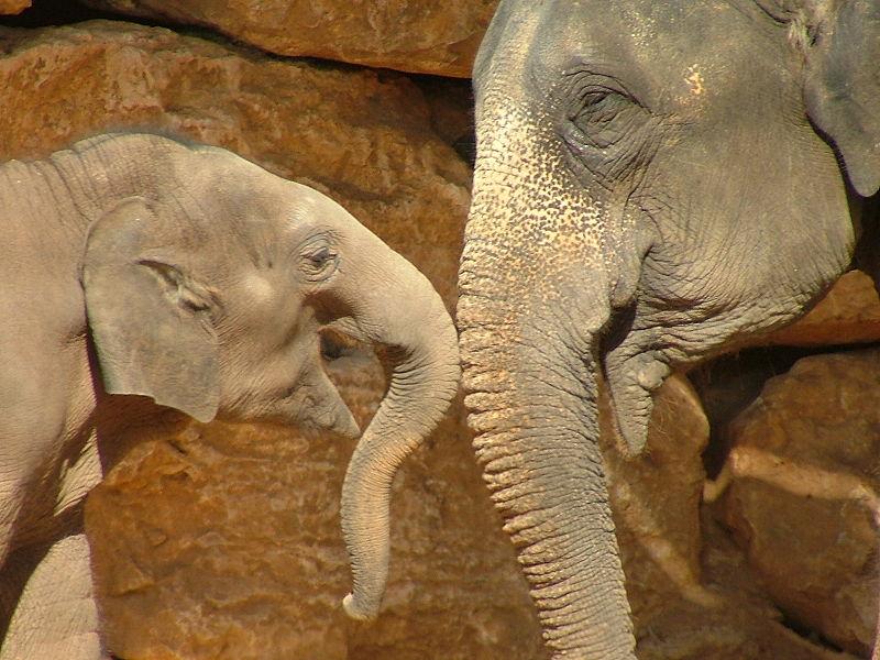 asian_elephant3
