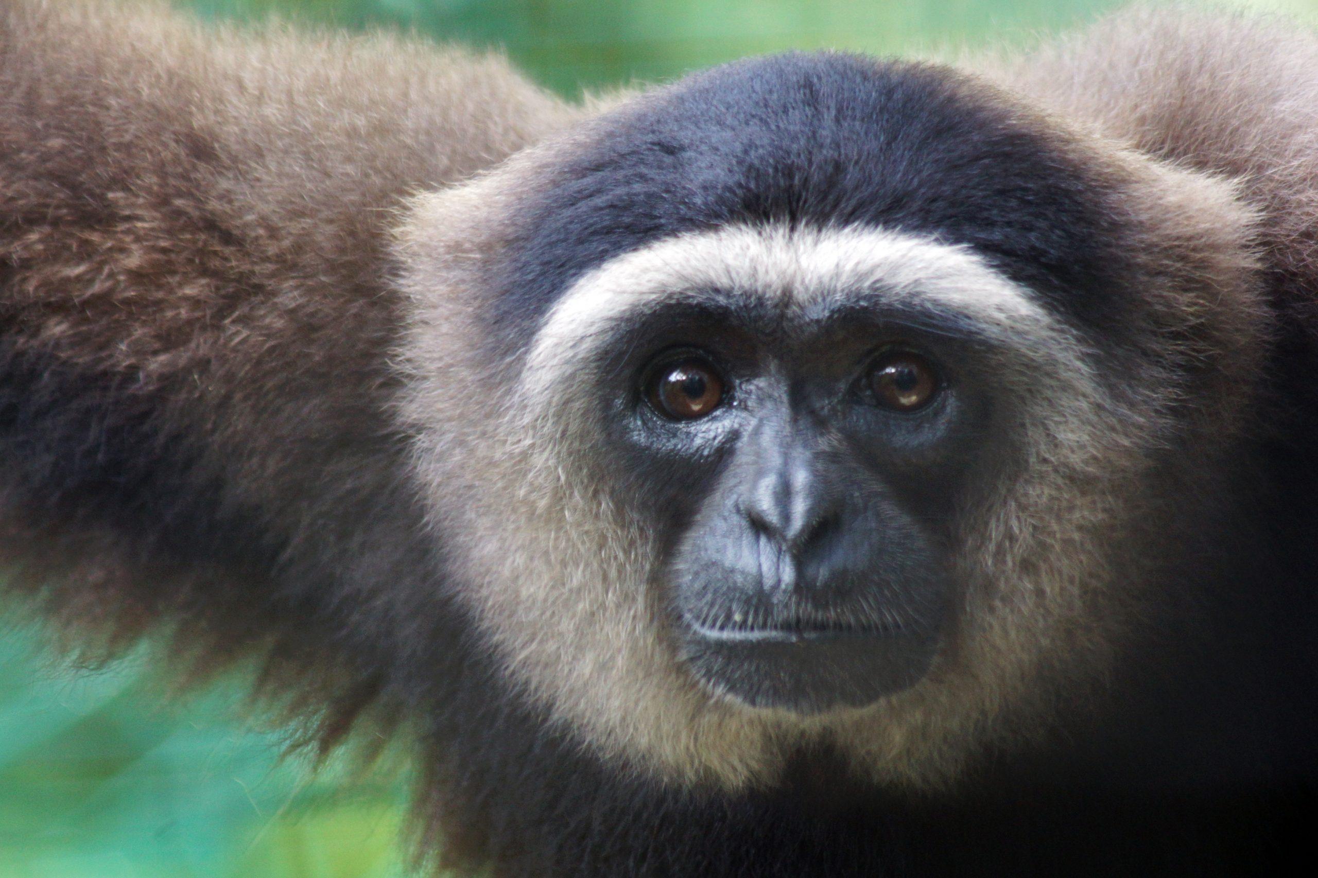 Gibbon Bornéo 2013 Crédit Jean-Marc Bouve (3)